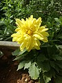 Yellow flower 999.jpg