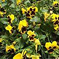 Yellow pansies in flower bed.jpg