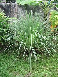 Cymbopogon flexuosus, la planta