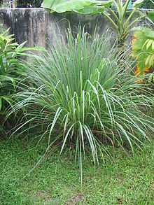 Cymbopogon sp.