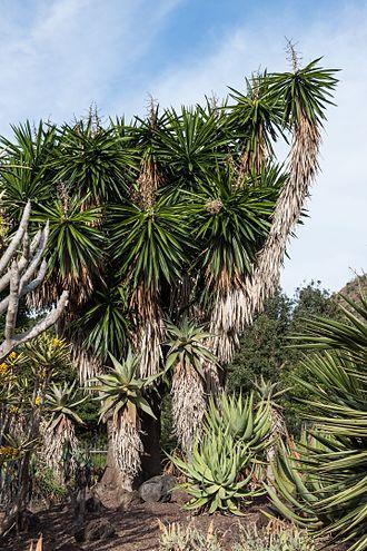 Yucca gigantea - Image: Yucca gigantea Jardín Botánico Canario Viera y Clavijo Gran Canaria