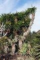 Yucca gigantea - Jardín Botánico Canario Viera y Clavijo - Gran Canaria.jpg
