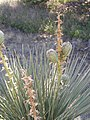 Yucca in Seed P7170241.jpg