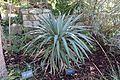 Yucca pallida - Zilker Botanical Garden - Austin, Texas - DSC08789.jpg