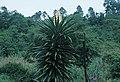 Yucca yucatana fh 0622 MEX BB.jpg