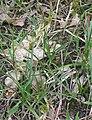 Zandzegge planten (Carex arenaria).jpg