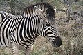 Zebra at Kruger National Park.jpg