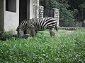Zebra from Bannerghatta National Park 8647.JPG