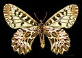 Zerynthia polyxena MHNT CUT 2013 3 8 Male Ventre Montferrier-sur-Lez.jpg