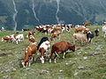 Zinal-Vaches (3).jpg
