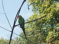 Zoo Praha, papoušek nádherný.jpg