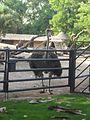 Zoo de barcelona-avestrus - panoramio.jpg