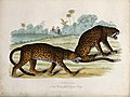Zoological Society of London; a pair of leopards. Coloured e Wellcome V0023109.jpg