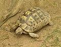 Zoopark Zajezd CZ Testudo graeca terrestris 093 (cropped).jpg