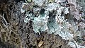 """""""Fairy Puke"""" lichen.jpg"""