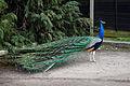 'Pavo' peacock at Blake End, Great Saling, Essex, England 06.jpg