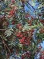(ALB) S. molle-fruit-2.jpg