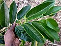 (Annona glabrapond) apple, alligator apple. Leaf.jpg