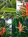 (Arya) Heliconia psittacorum di area parkir hotel citradream Cirebon 2019 collage.jpg
