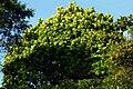 Árbol lira (Ficus lyrata) (14958612132).jpg