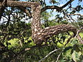 Árvore comumente encontrada no cerrado.JPG