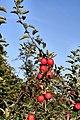 Äpfel, apples - panoramio.jpg