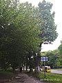 Алея вікових лип Вінниця 3.jpg