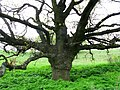 Віковий дуб у балці Павлівській.jpg