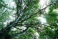 Дерево... На фото не видно но оно действительно очень высокое.. - panoramio.jpg