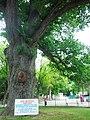 Дуб-Богатир Тавриди у Дитячому парку.jpg