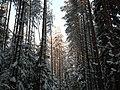 Зимний лес - panoramio - Василиса Поселкова.jpg