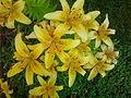 Лилия цветы.jpg