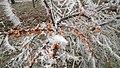 Облепиха марсианская со снежными иглами. Волжанка. Сюктерка. Чувашская республика. Ноябрь 2014 - panoramio.jpg
