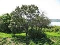 Облепиха - Огород т. Нади (бывший наш) - panoramio.jpg