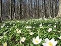 Теребовлянський лес - анемоны - panoramio.jpg
