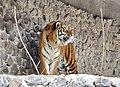 Тигр в неволі.jpg