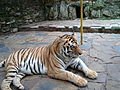 Тигър в зоопарк СЗ.JPG