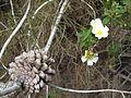 פרחים בישראל (79).JPG