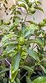 برگ و میوه نارنگی تزیینی-Tangerine 05.jpg