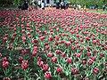 جشنواره لاله های گچسر - panoramio (1).jpg