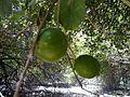 لیمو Lemon - panoramio.jpg