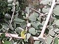 பூலாஞ்சி 1 (Securinega leucopyrus ).jpg