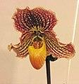 兜蘭屬 Paphiopedilum leucochilum x fairrieanum -台南國際蘭展 Taiwan International Orchid Show- (26028600097).jpg