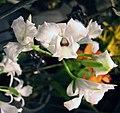 卡特蘭屬 Cattleya rubescens v semi-alba -香港沙田洋蘭展 Shatin Orchid Show, Hong Kong- (31485662905).jpg