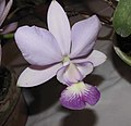 卡特蘭屬 Cattleya walkeriana Tokyo No.1 x pentatue alba -香港沙田國蘭展 Shatin Orchid Show, Hong Kong- (9198103221).jpg