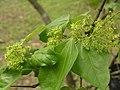 台灣三角楓 Acer buergerianum v formosanum -台北植物園 Taipei Botanical Garden- (9222652668).jpg