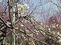 咲き乱れる梅.jpg