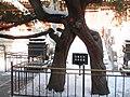 故宫御花园里的夫妻树 - panoramio.jpg