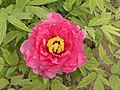 日本牡丹-日月錦 Paeonia suffruticosa Jitsugetsu-nishiki -菏澤曹州牡丹園 Heze, China- (12452318773).jpg