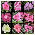 杜鵑花 Rhododendron cultivars 1 -香港動植物公園 Hong Kong Botanical Garden- (9200910150).jpg